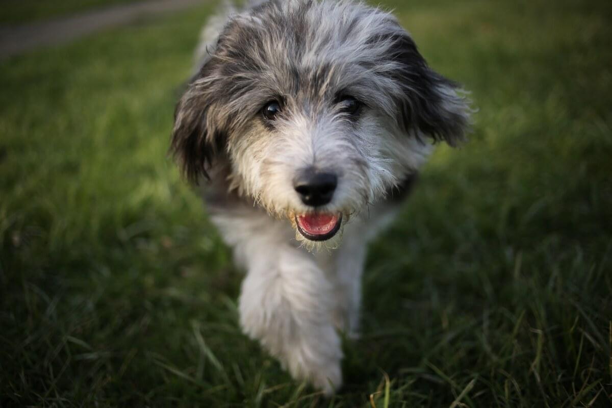 aussiedoodle-puppy-walking-towards-camera