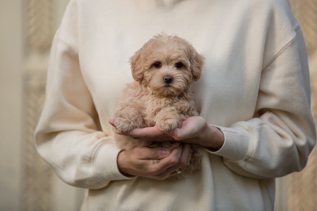 baby-maltipoo-puppy