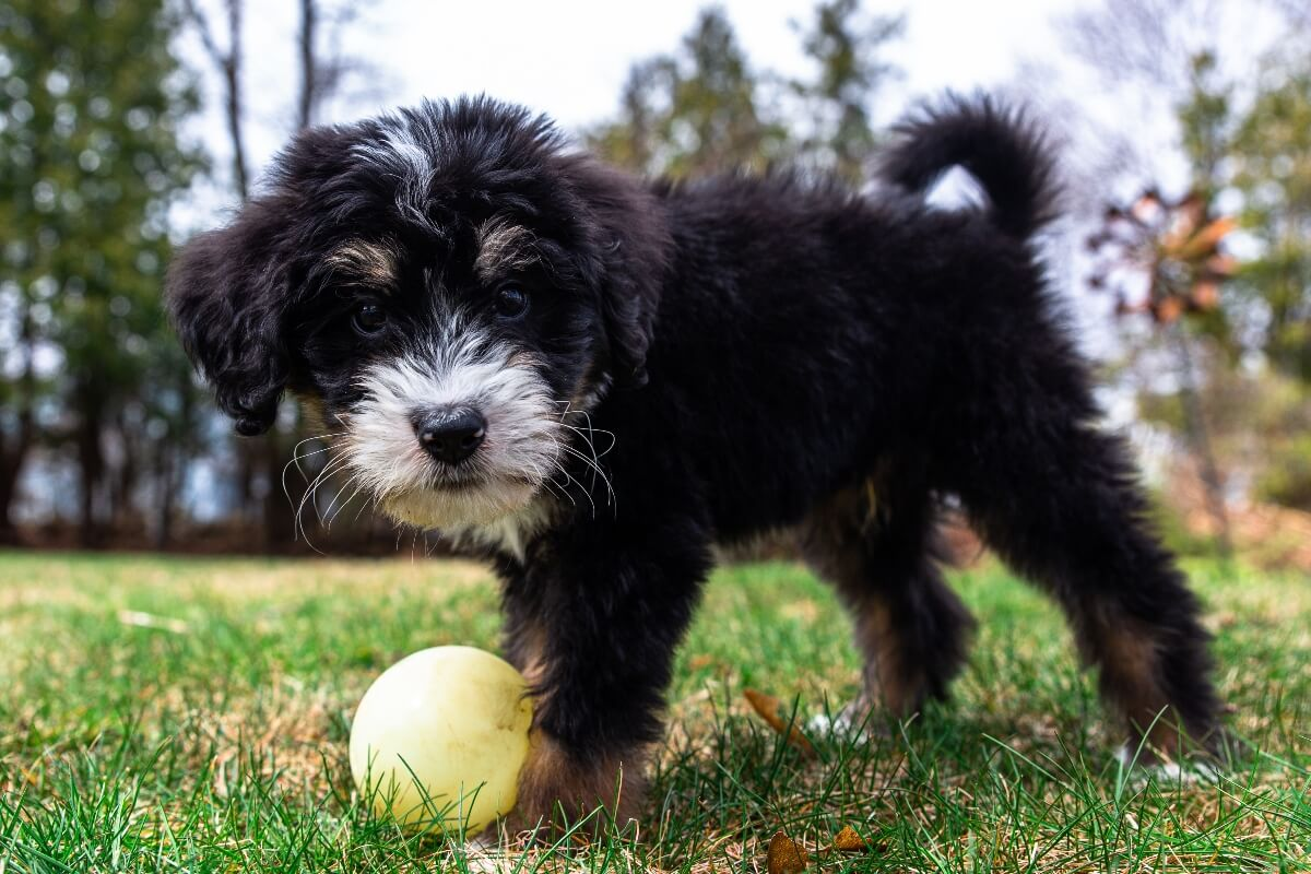 bernedoodle-puppy-playing-with-ball-outside