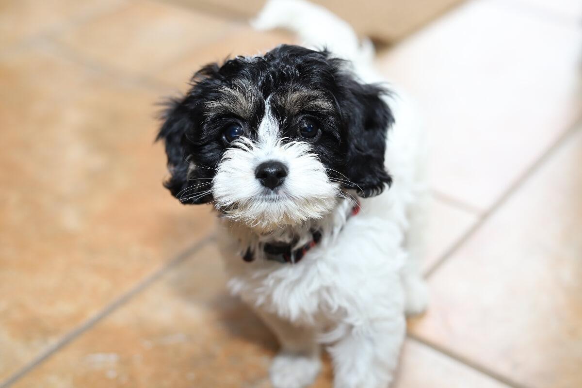 black-and-white-cavapoo-puppy