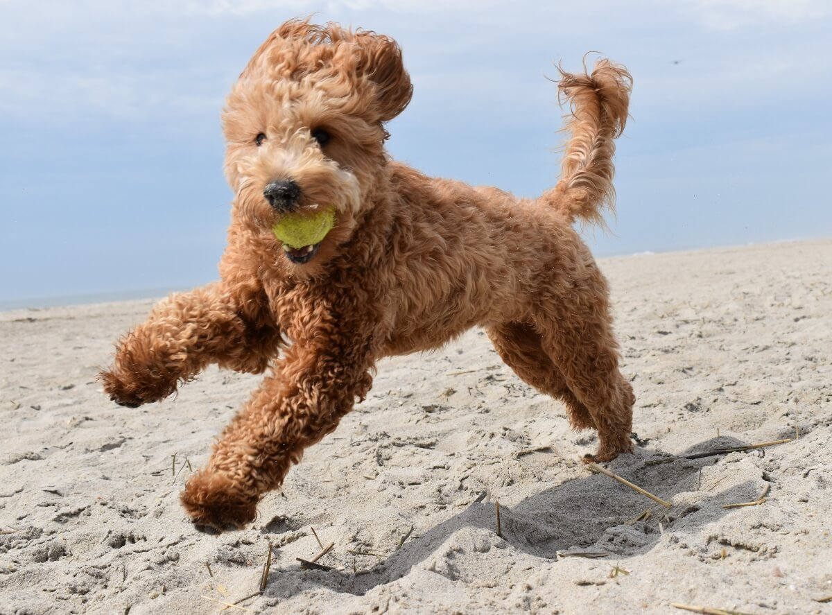 golden-doodle-running-on-beach