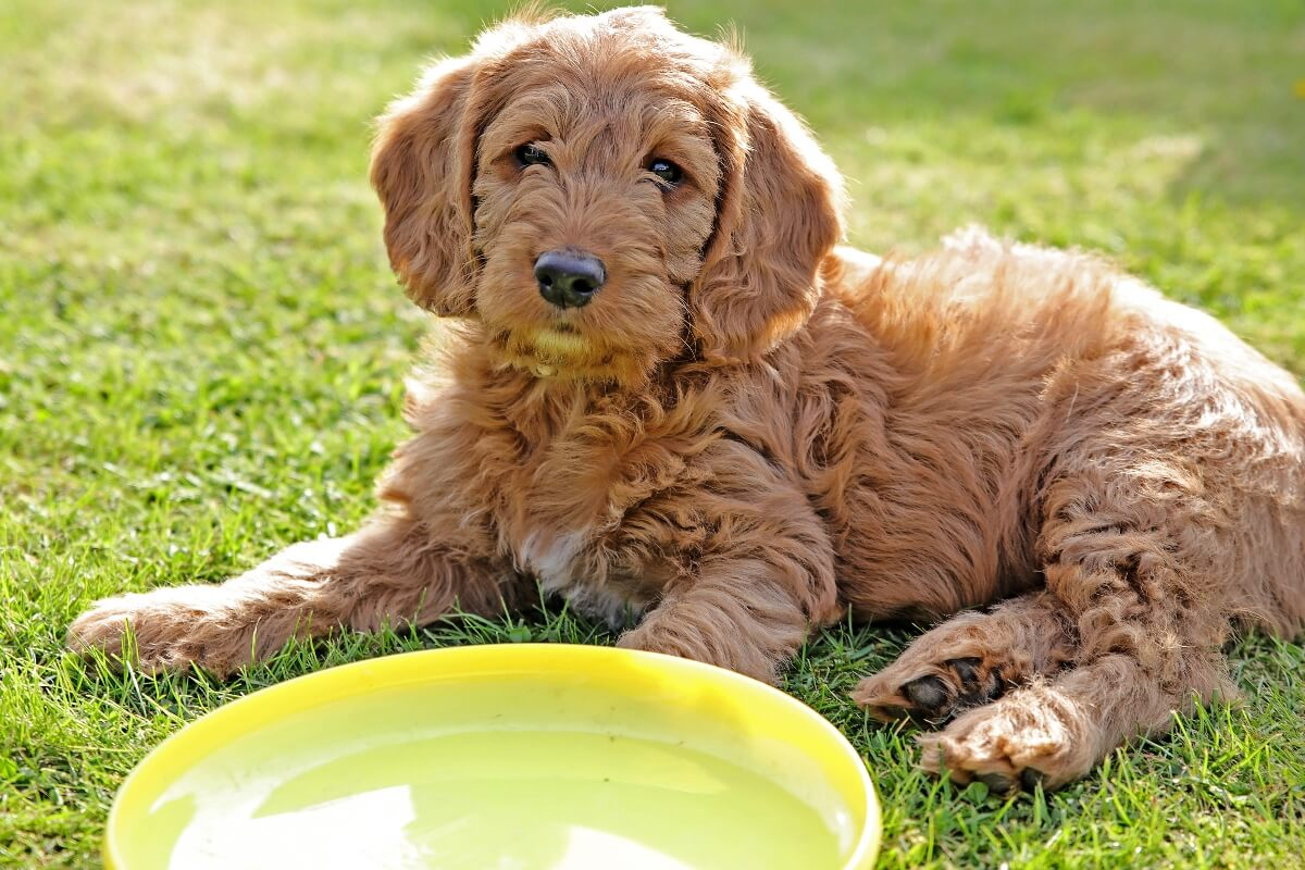 labradoodle-puppy-with-a-frisbee