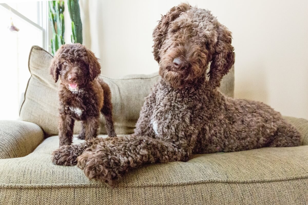 shepedoodle-adult-and-puppy-on-couch