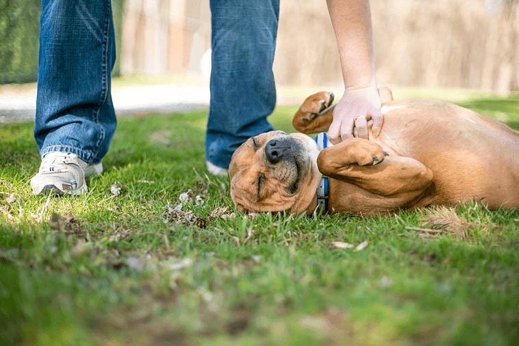 Dog-belly-rub