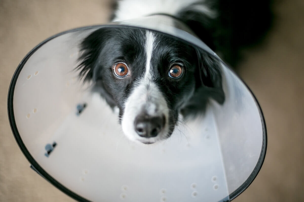 Border-collie-wearing-cone