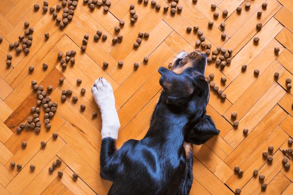 Dog eating kibble off floor