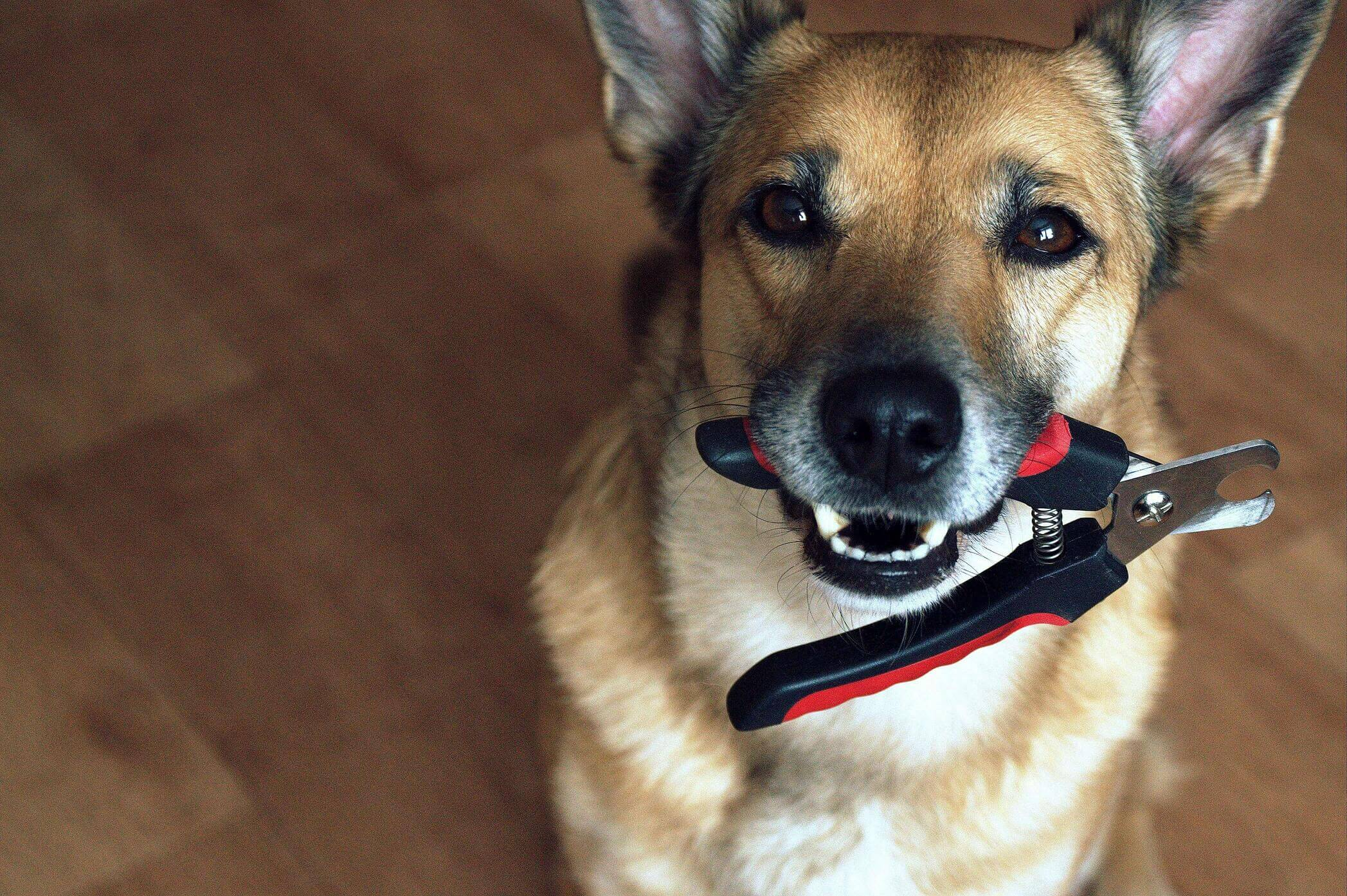 Dog holding nail clippers