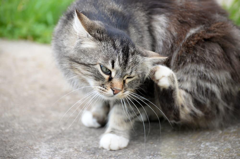grey-tabby-scratching-ear (1)