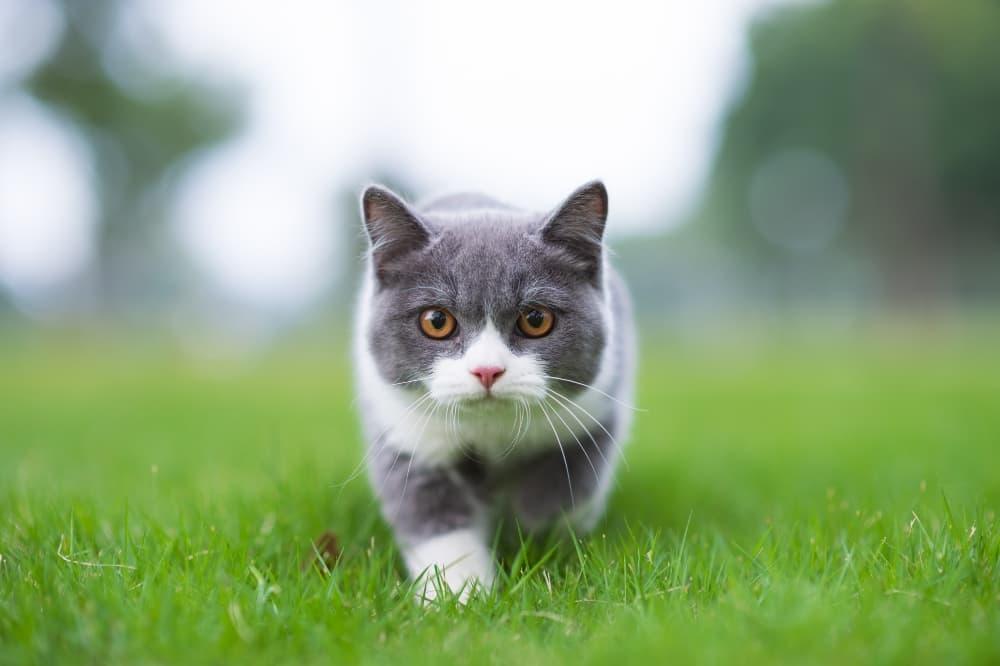 grey-white-cat-stalking-through-grass