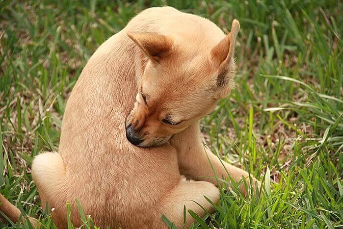 dog-allergy-flea-tick