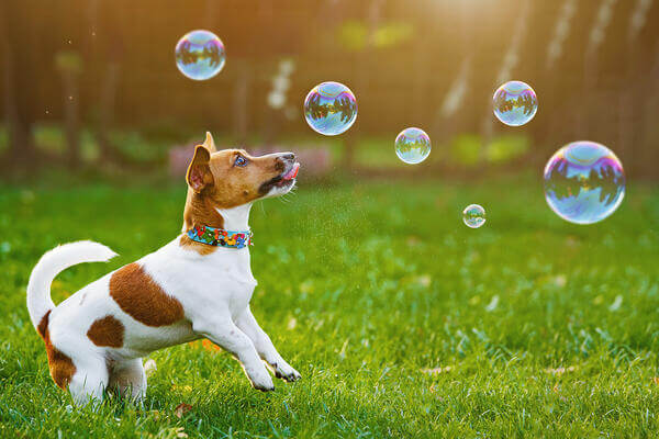 Jack-russel-chasing-bubbles