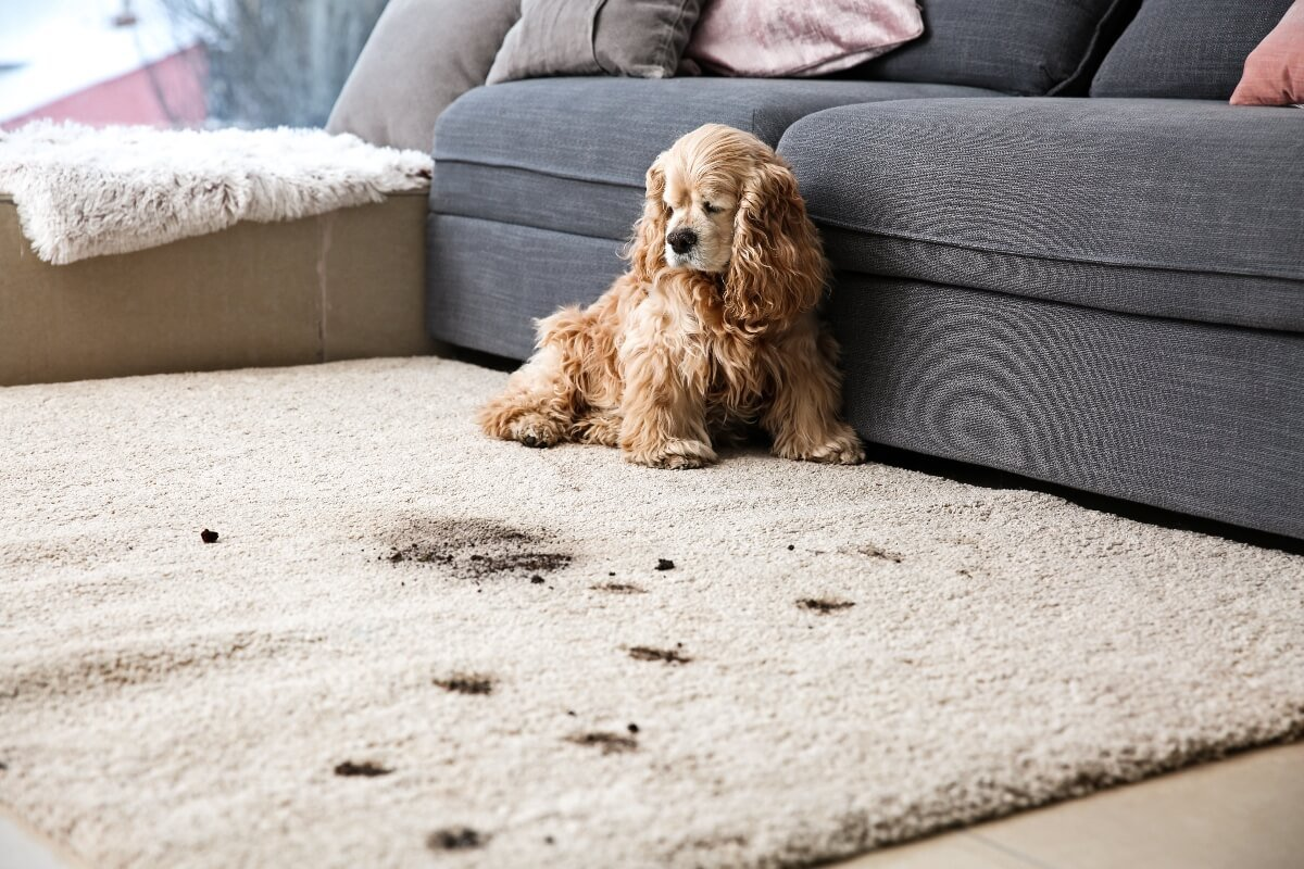 Puppy-making-mess-on-carpet