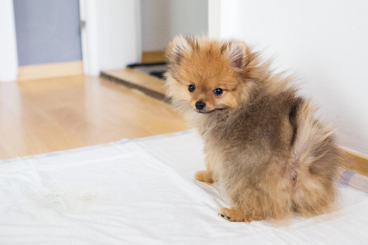 Pomeranian-puppy-using-pee-pad