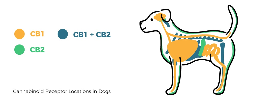 facts-about-CBD-where-are-dog-receptors-1