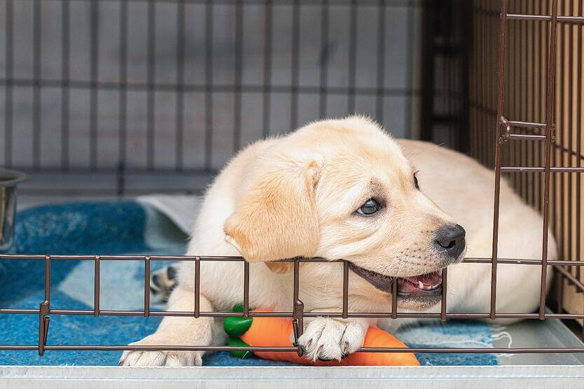 golden-puppy-biting-crate