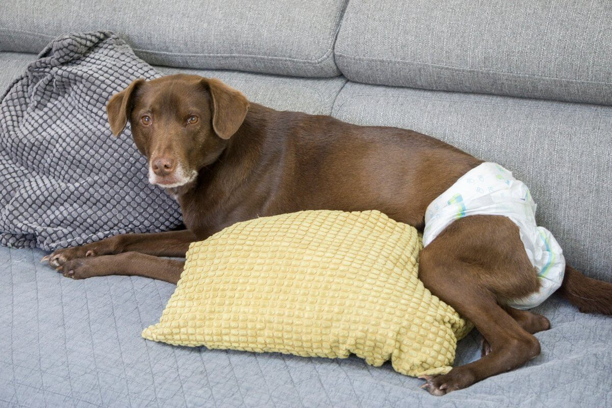old-lab-wearing-diaper-on-couch