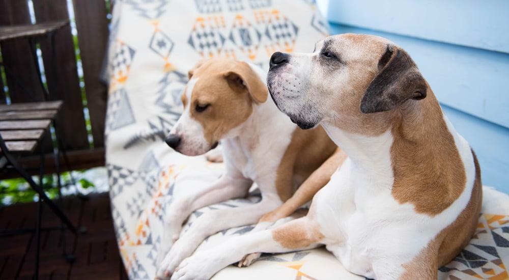 puppy-senior-dog
