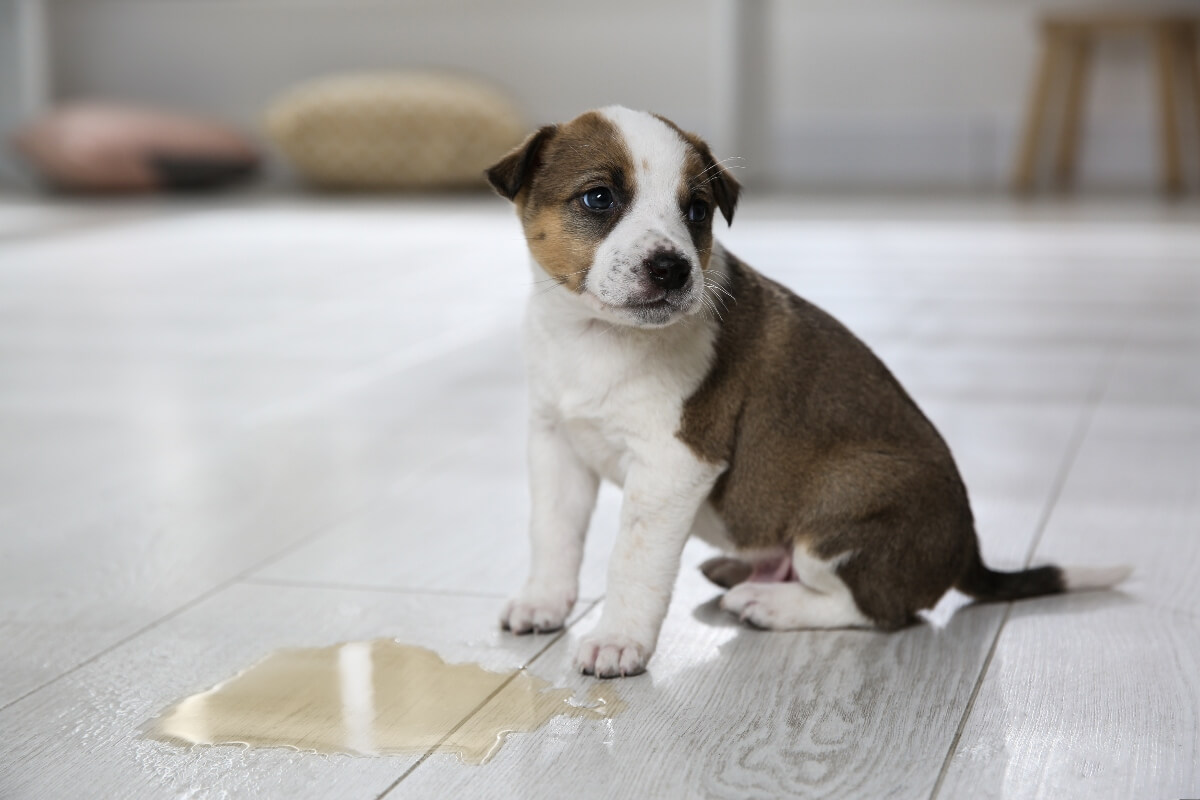 puppy-standing-by-to-pee-house