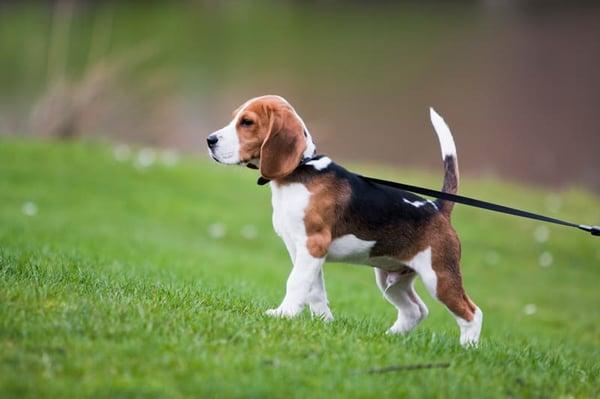 puppy-walking
