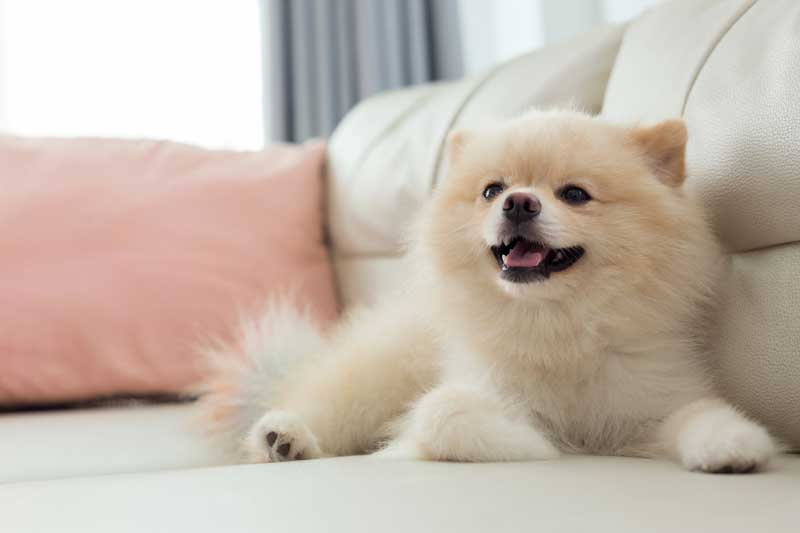 small-breed-dogs