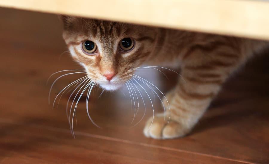 anxious-cat-hiding-under-chair