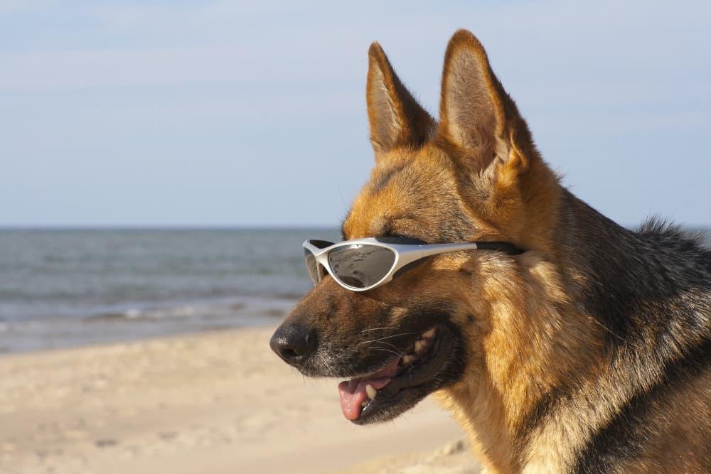 german-shephard-wearing-sunglasses