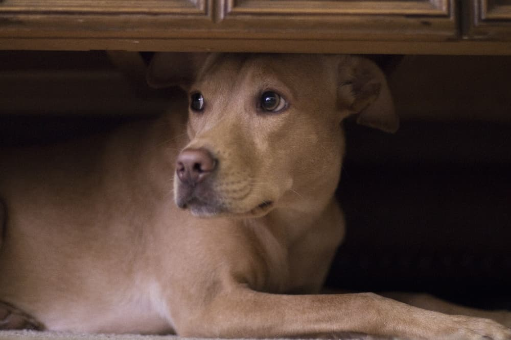 dog-hiding-under-cabinet
