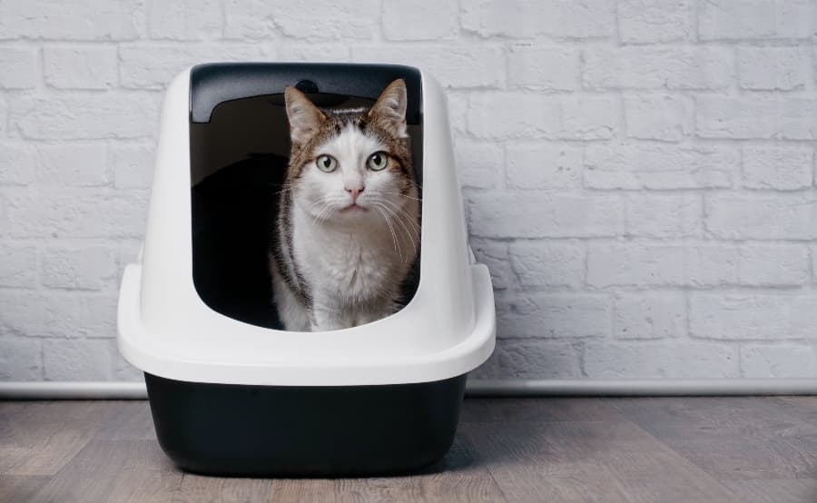 How-to-litter-train-your-cat-article-feature